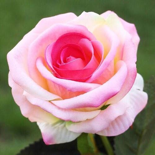 ý nghĩa hoa hồng phớt trong ngày 20/11