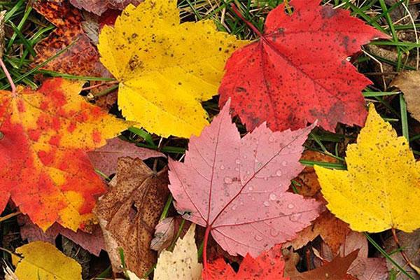 Lá cây thường chuyển từ màu xanh sang vàng vào mùa thu